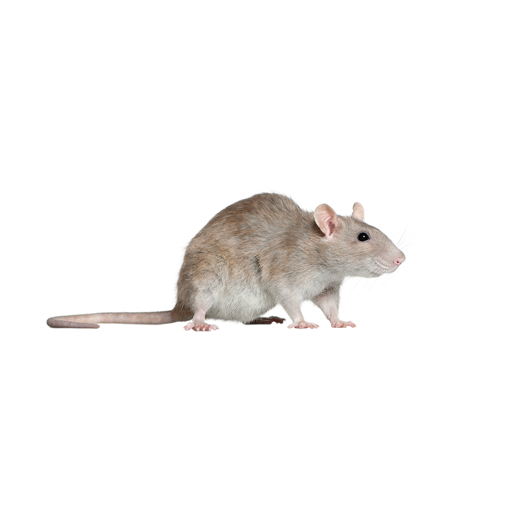 rats-mice-rodents-near-me